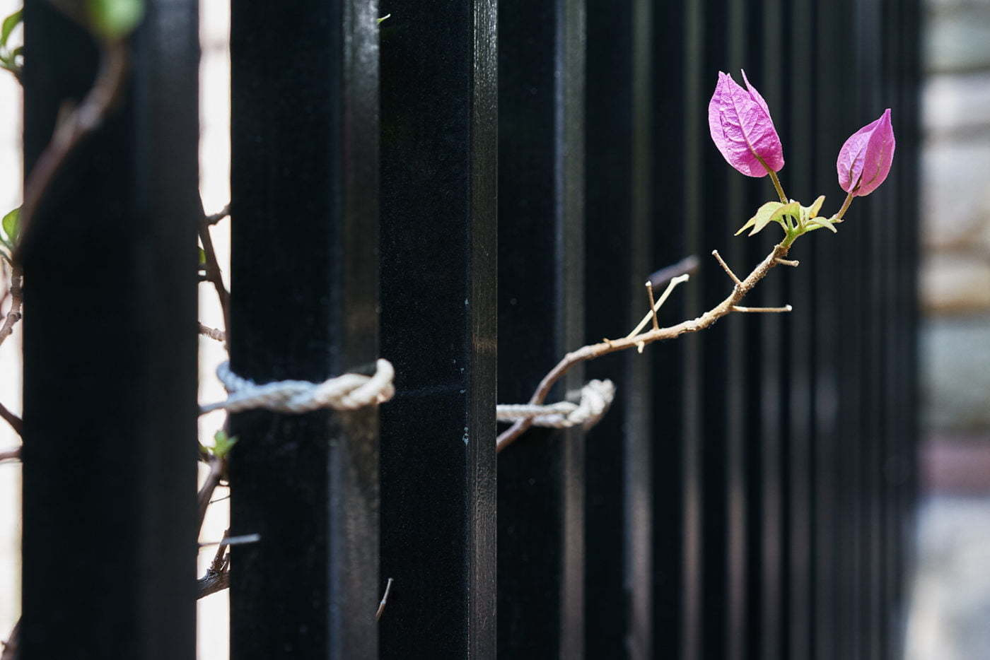 Flower with fence